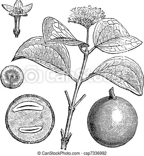 Strychnine Tree or Strychnos nux-vomica, vintage engraved illustration - csp7336992
