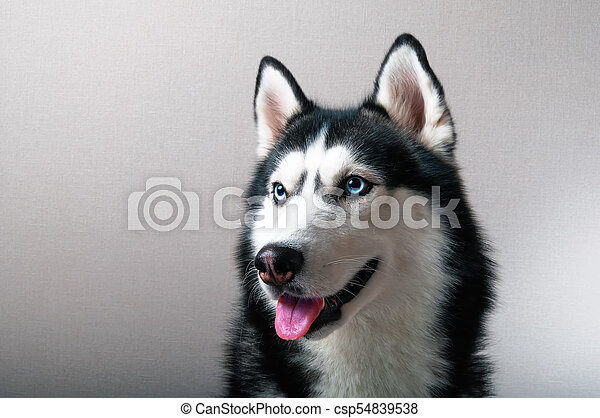 Studio Portrait Of A Husky Dog Beautiful Siberian Husky Black And