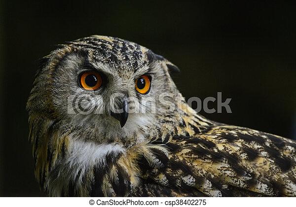 Stunning portrait of European Eagle Owl bubo bubo - csp38402275