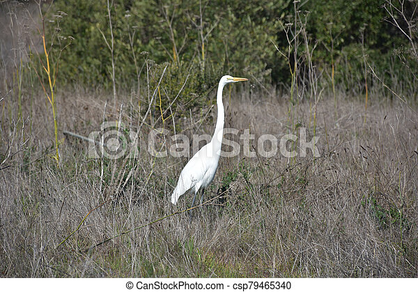 Stunning White Great Egret in a Large Field - csp79465340