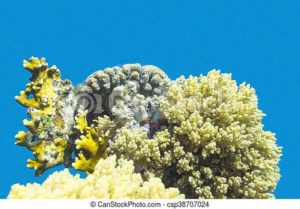 Coral arrecife en el fondo del mar tropical, bajo el agua - csp38707024