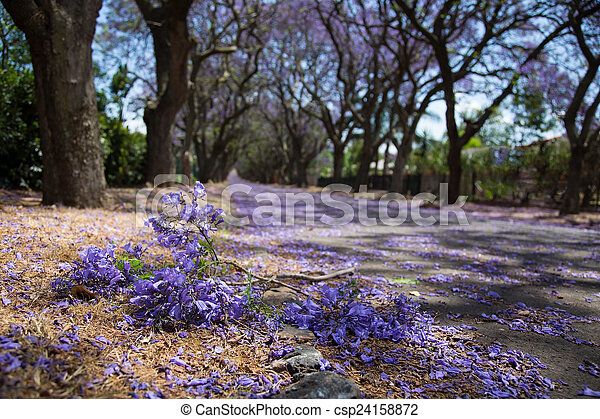 Suburban road with line of jacaranda trees and small branch with - csp24158872