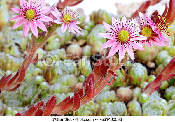 Succulent flowers hen and chicks closeup of pink flowers on succulent flowers hen and chicks csp31408586 mightylinksfo