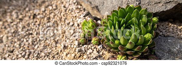 Succulent houseleek flower planted in a rockery garden. Rock garden sempervivum plant web banner close up. - csp92321076