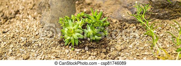 Succulent houseleek flower planted in a rockery garden. Rock garden sempervivum plant panoramic close up. - csp81746089