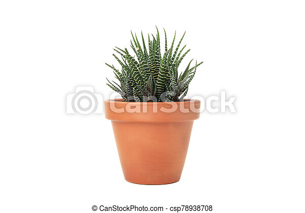 Succulent plant in pot isolated on white background - csp78938708