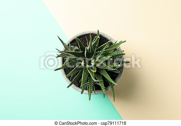 Succulent plant on two tone background, top view - csp79111718