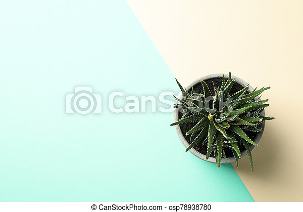 Succulent plant on two tone background, top view - csp78938780
