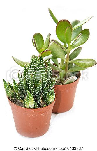 succulent plant - csp10433787
