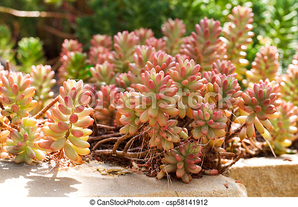 Succulent plant sedum with pink and green leaves succulent plant sedum with pink and green leaves csp58141912 mightylinksfo