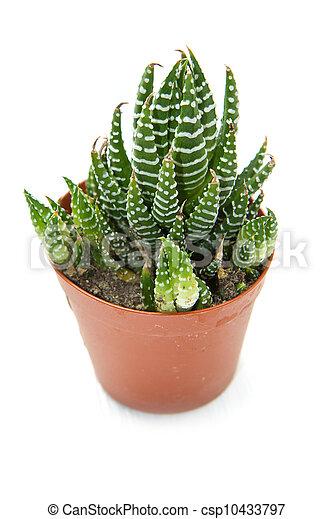 succulent plant - csp10433797