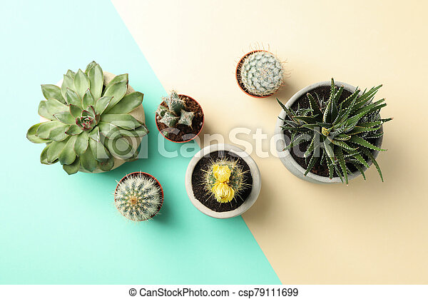 Succulent plants on two tone background, top view - csp79111699