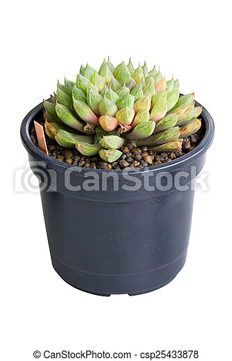 Succulent potted plant isolated on white. - csp25433878