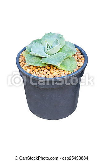 Succulent potted plant isolated on white. - csp25433884