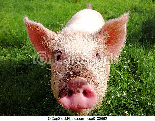 sucking-pig - csp0130662