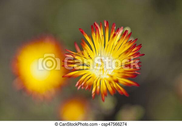 Drosanthemum bicolor suculento - csp47566274