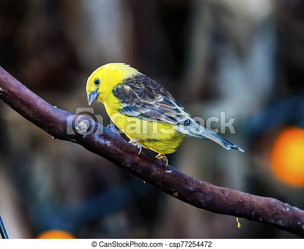 Sudan Golden Sparrow Close Up - csp77254472