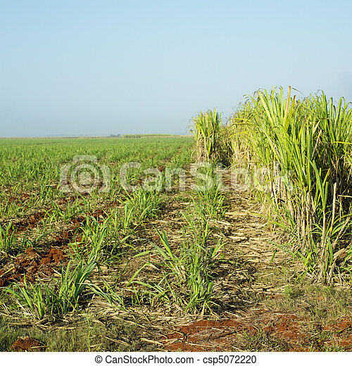 Sugar Cane Field Cuba