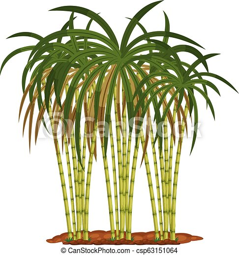 Sugar cane plant on white background - csp63151064