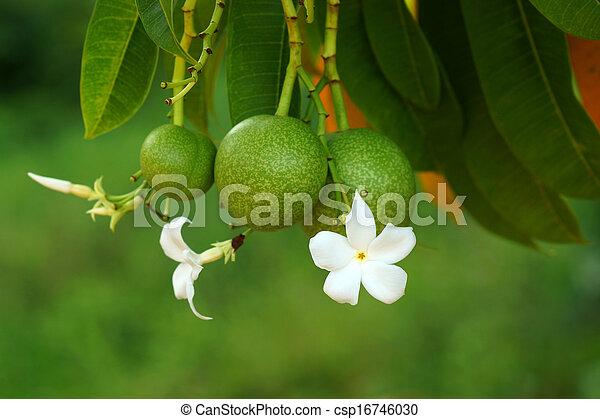 Suicide tree (Cerbera odollam) - csp16746030