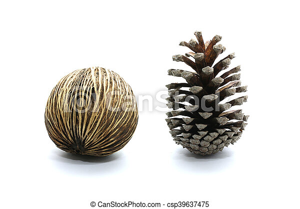 Suicide tree seed, Pong pong seed or Othalanga, Cerbera oddloam's seed together with cone pine-tree isolated on white background - csp39637475