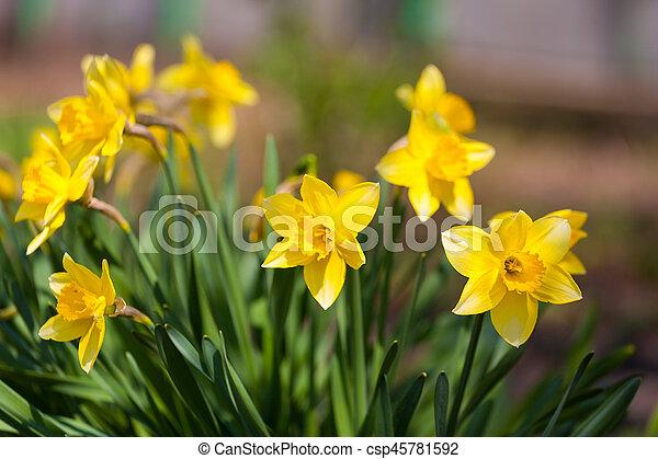 suisen jonquilles sunlightfield jaune jonquille fleur field - Fleur Jonquille