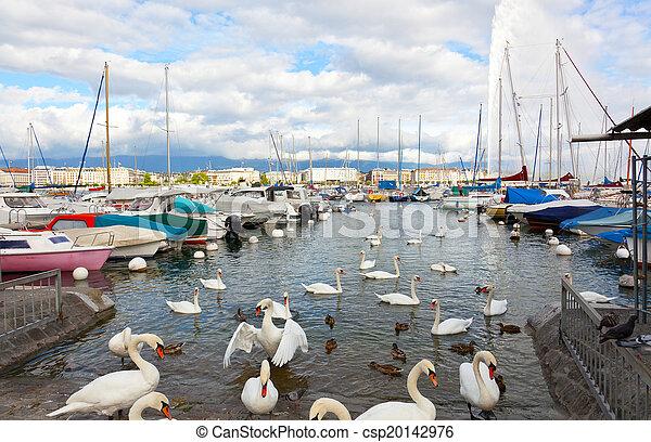 Un paquete de cisnes en el lago en Ginebra, Suiza - csp20142976