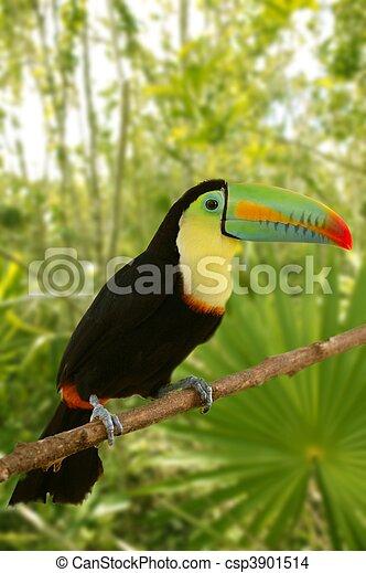 sulfuratus, kee, toucan, jungle, billed, tamphastos - csp3901514