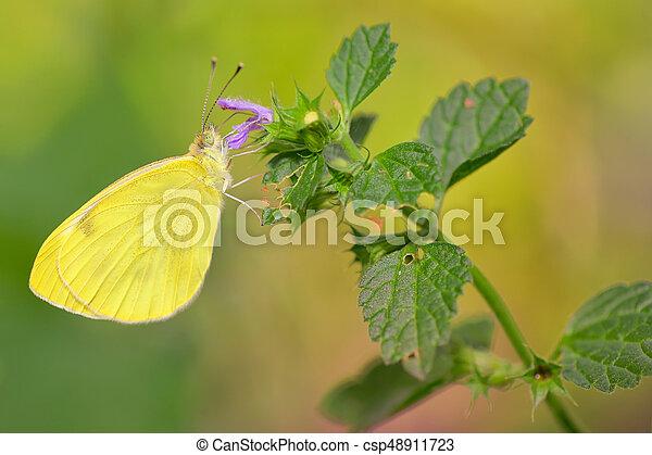 Sưu tập Bộ cánh vảy 3 - Page 17 Sulphur-phoebis-agarithe-butterfly-stock-photo_csp48911723