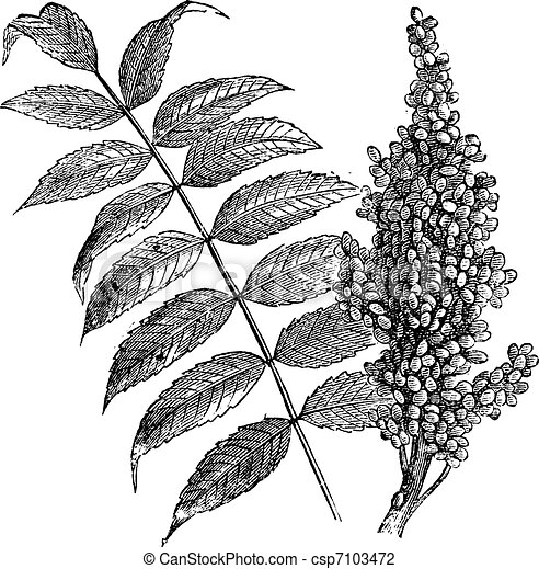 sumac, vendemmia, liscio, (rhus, glabra), engraving. - csp7103472