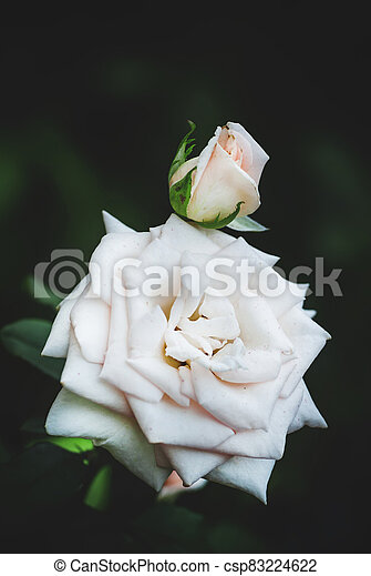 Summer background with beautiful white rose, blurred image, selective focus, shallow depth of field - csp83224622