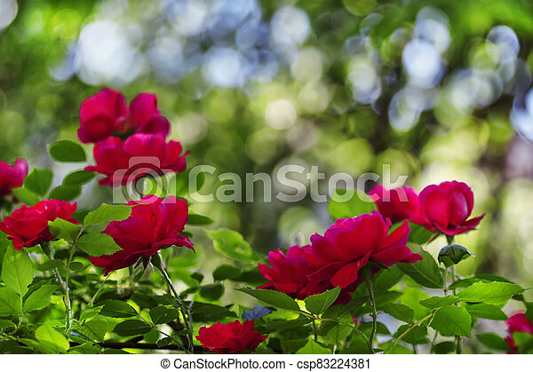 Summer background with blooming rose bush, selective focus, shallow depth of field - csp83224381