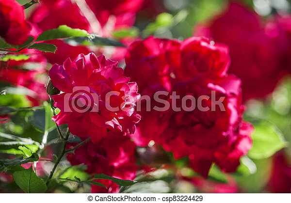 Summer background with blooming rose bush, selective focus, shallow depth of field - csp83224429
