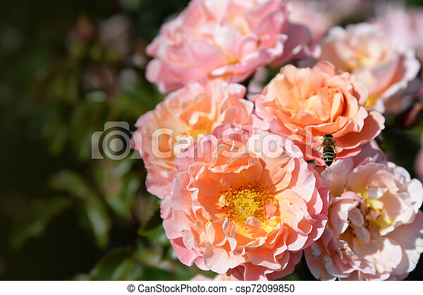 Summer Blossoming Delicate Roses On Blooming Flowers Festive