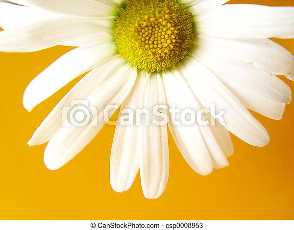 summer daisy yellow - csp0008953