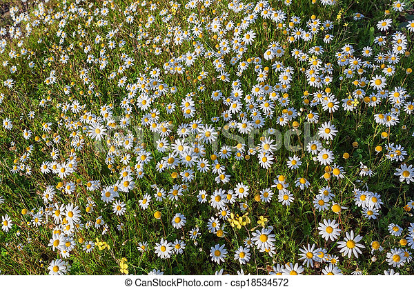 Summer field of forest daisies. Lawn nature. - csp18534572