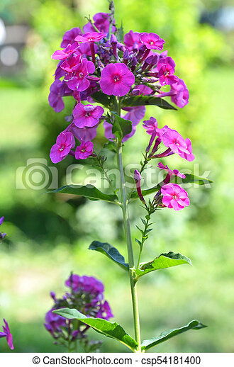 Summer garden flowers blooming pink phlox flowers stock summer garden flowers blooming pink phlox flowers perennial phlox phlox paniculata laura growing mightylinksfo Image collections