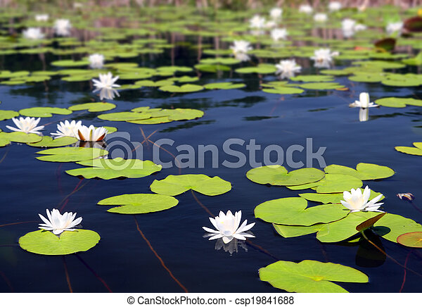 summer lake with water-lily flowers - csp19841688