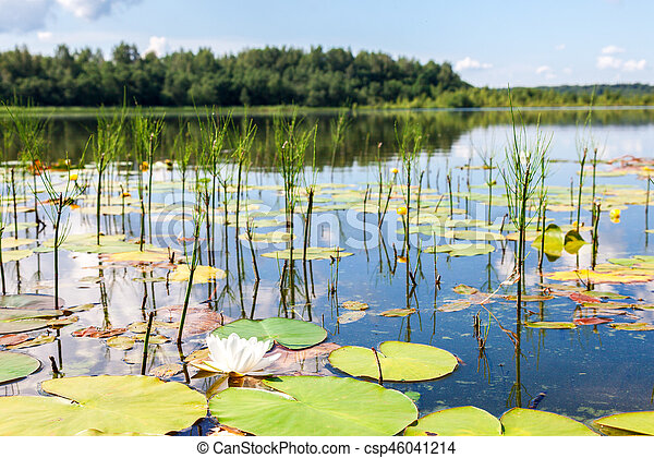 Summer landscape with water lily flowers in sunny day - csp46041214
