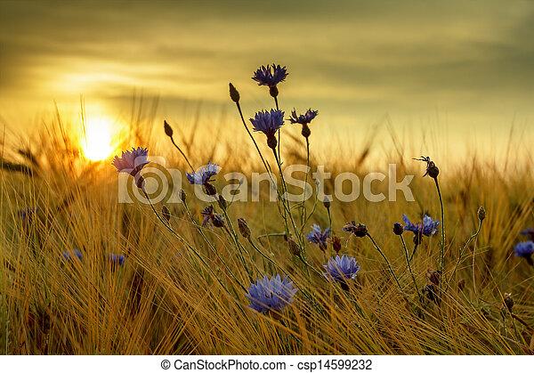 summer sunset over grass field with shallow focus - csp14599232