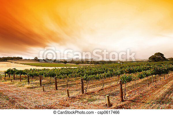 Summer Vineyard Sunrise - csp0617466