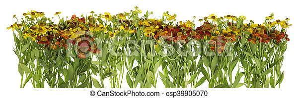 Summer yellow and red garden daisies line - csp39905070