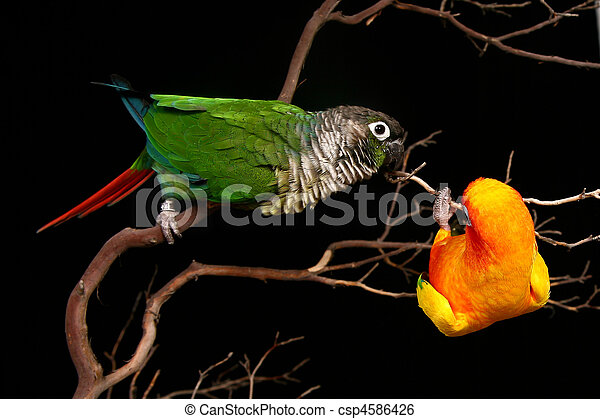 Sun and Green Cheek Conures Playing - csp4586426