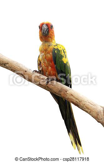Sun Conure Parrot bird - csp28117918