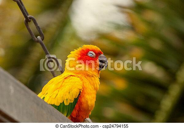 Sun Conure parrot on a swing - csp24794155