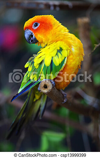 Sun Conure Parrot on a Tree Branch - csp13999399