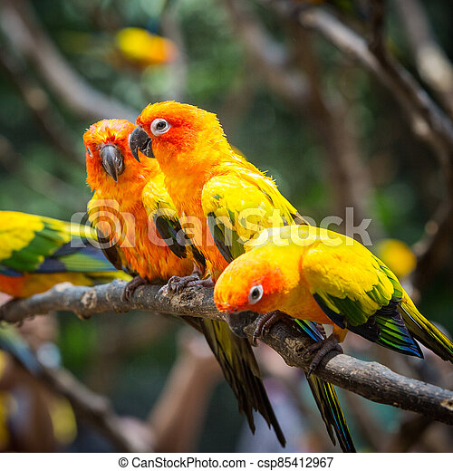 Sun conure parrot on the tree branch eats food - csp85412967