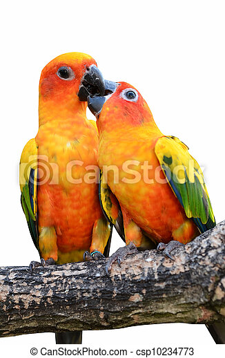 Sun Conure Parrot - csp10234773