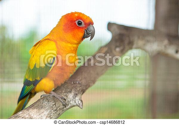 Sun conure parrot - csp14686812