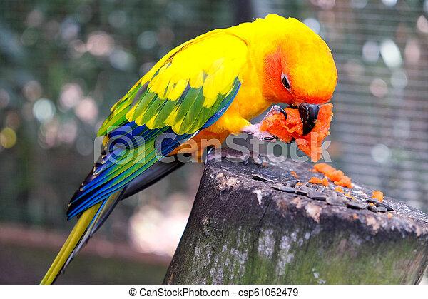 Sun Conure Parrot - csp61052479